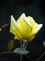 Yellow Rose by PhotographyFace