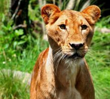 African Lioness by Twinkie-Dink