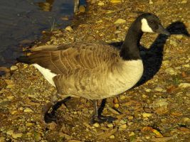 Canadian Goose by Beatles-Fan