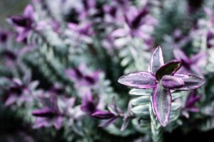 Purple Plant High Resolution Wallpaper by designerfied