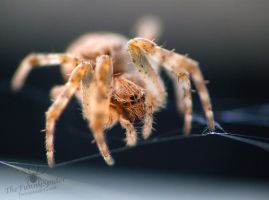 Small orange orb weaver spider by TheFunnySpider