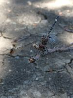 A dragonfly at the park by Scarletcat1