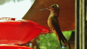 Hummingbird 2/3 by piperpiper7