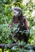 Eagle by DGPhotographyjax