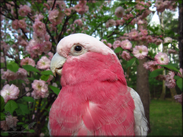 Spring Pink by Sapphiresenthiss