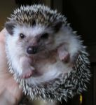 My little Ichimaru hedgehog 2 by IngwellRitter