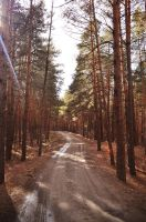 Trail in a pine forest by Korolevatumana