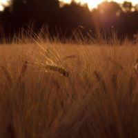 Barley Field by Quaiasla
