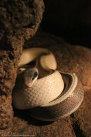 Cave Rat Snake 2 by Beloved-chan
