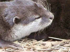 Otterly Adorable by IcePanthress