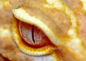 Leopard Gecko eye shot by basticelis