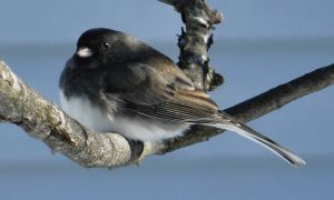 Slate-Colored Junco by papatheo