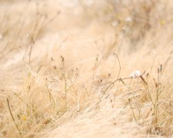 Dry Grass by BlindedVisions