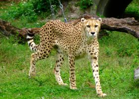 It's a Spotty Cat by DaytonaBlue64Impala