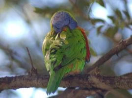Sleeping Lorikeet by Karak-Crow