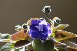 African Violet by BTrerice