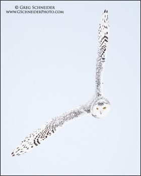Snowy Owl Banking by gregster09