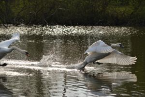 Swans 2014 5 1 by melrissbrook