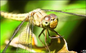 dragon fly_01 by iambutils
