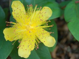 Star-Shaped Yellow Flower by ewensimpson