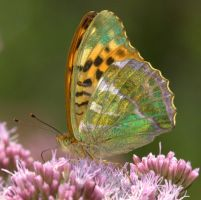 Silver Washed Fritillary by naturelens