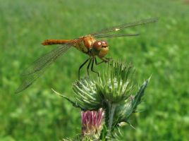 dragon-fly by DifferentWorld13