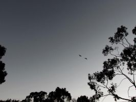 Galahs in the Evening sky... by scentedglitter