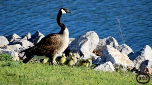 Mother Goose by GlenRoberson