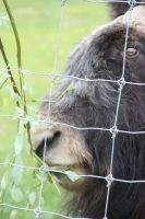 Musk Ox by willowtree123