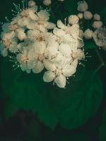 White flowers by LinaAoki