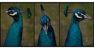 Peacock Tryptic by AprilDHallPhoto