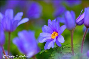 Grecian Windflower by CecilyAndreuArtwork