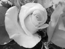 Light Pink Rose in Black and White by gPrincessofDarknessf