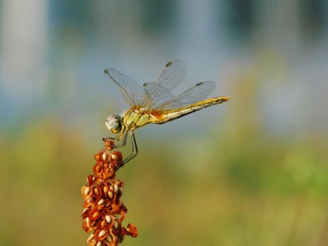 Dragonfly by QueenBlackDragonfly