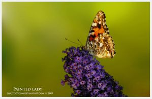 Butterfly - Painted Lady side by Enjoydotcom