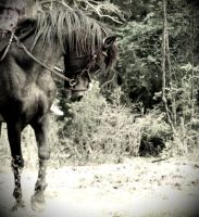 Old Photo-American Curly Stallion by Mr-Goldfish