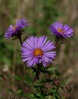 Autumn Asters by MadGardens