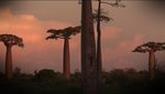 Adansonia - wallpaper by NBDA
