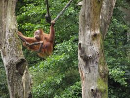 stock orang utan 03 by joshi-stock