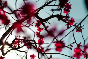 Plum blossoms 5 by juju--juju
