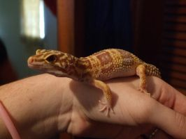 Leopard Gecko 1 by Cerestes-Stock