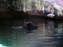 Sea Otter 1 -- Sept 2009 by pricecw-stock