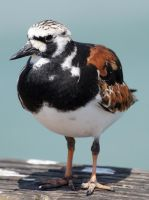 Plump Turnstone by Fail-Avenger