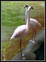 Flamingo Dancers by midgard