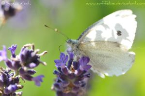 Butterfly by Soffeline