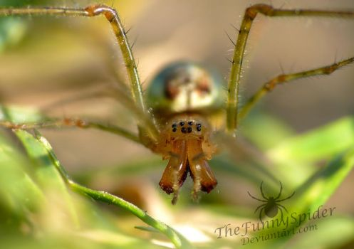 Orb Weaver with long Jaws - Tetragnatha extensa by TheFunnySpider