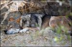 Mexican Wolf by AnxietyPatient