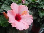 Pink Hibiscus by samybenenny