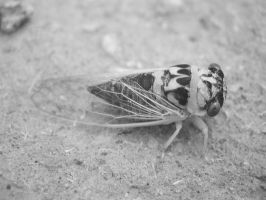 macro iR - cicada by redtailhawker