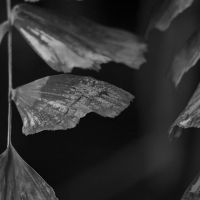 Larch-BW by Camomelle
